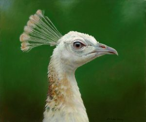 Kim - Indian Peahen